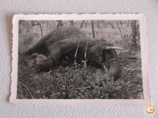 Fotografia antiga - Elefante abatido